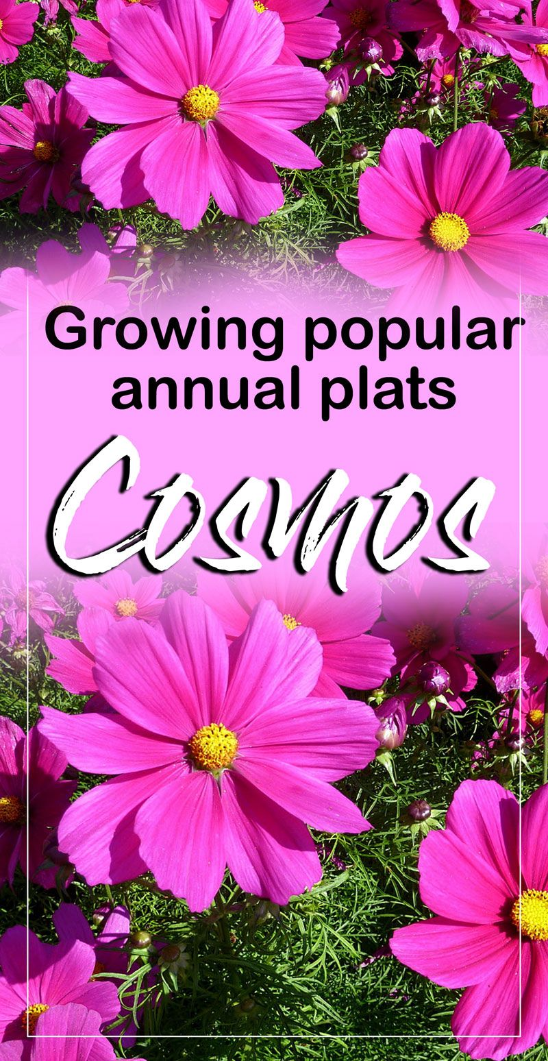 How To Grow Grow Cosmos Flower Annual Plants Plants Common Garden Plants