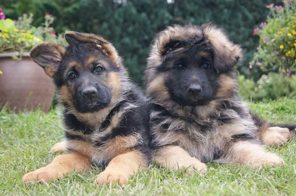 Adorable with images baby german shepherds german