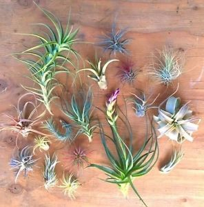 Sale 100 Assorted Tillandsia Air Plants Free SHIP Treasury Wholesale Bulk Lot | eBay