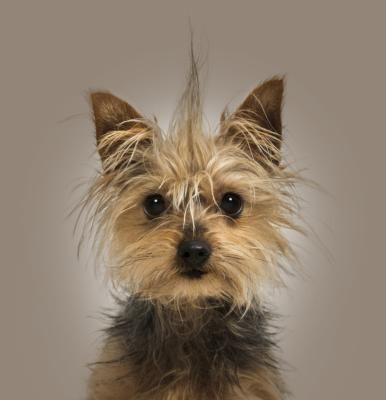 What Is The Life Span Of A Teacup Yorkie Cuteness Yorkshire