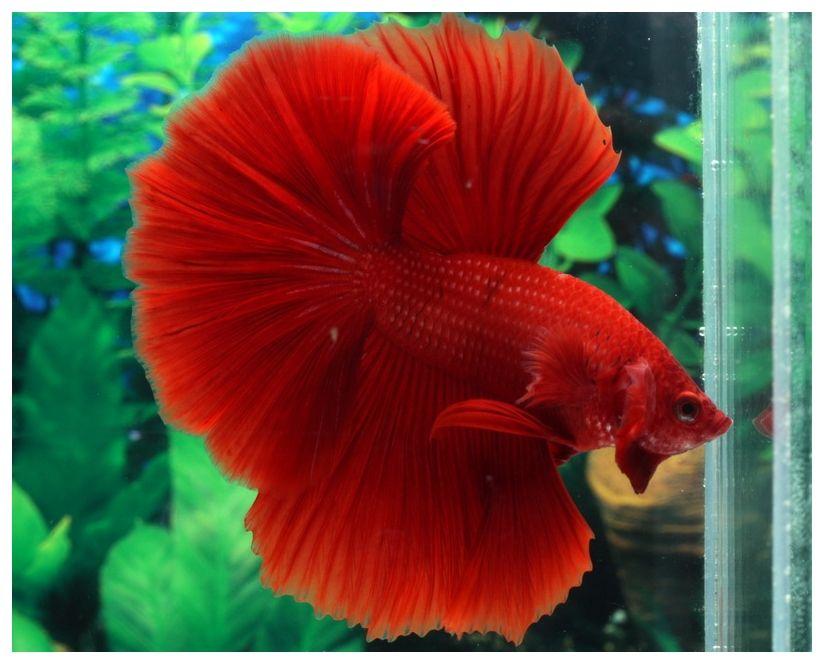aquabid com item fwbettashm1522579204 hm680 male ruby by