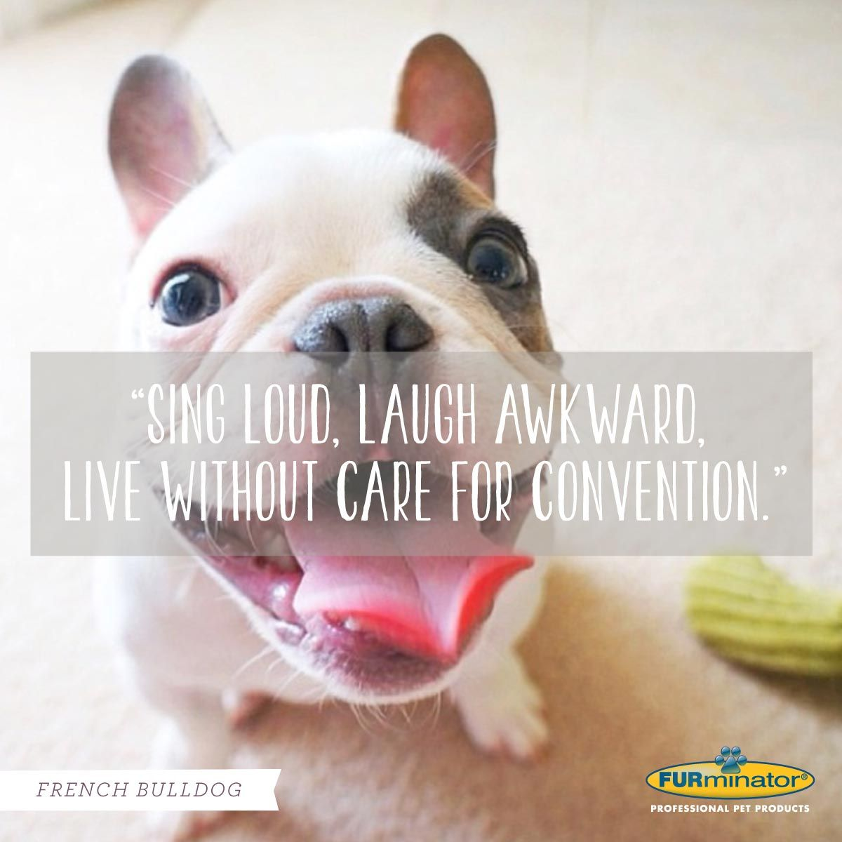 Bulldog Quotes French Bulldog Motto Sing Loud Lough Awkward Live Without Care