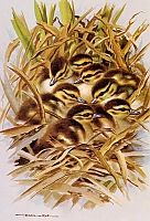 Постер British Birds - Mallard