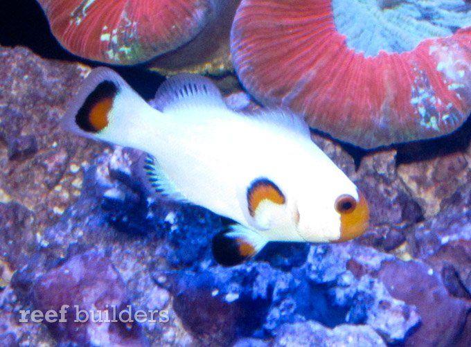 Sustainable Aquatics Wyoming White Perculas Clownfish Macna2012 Macna Clown Fish Saltwater Aquarium Fish Pet