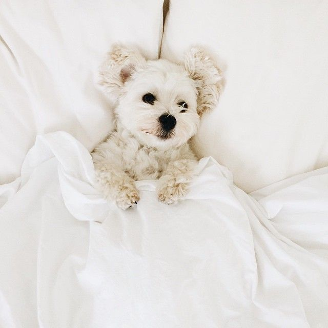 Dog Only Wants To Stay In Bed