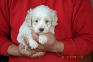 Cavoodle Puppies For Sale In Melbourne Labrador Puppy Labrador Puppy Training Puppies