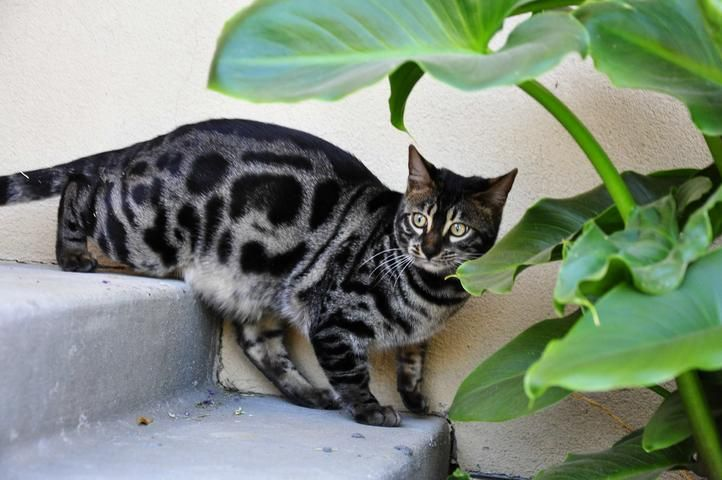 Charcoal Bengals Charcoal Bengal Cats Charcoal Bengals Kittens For Sale In Sacramento California Bengal Cat Pretty Cats Cat Care