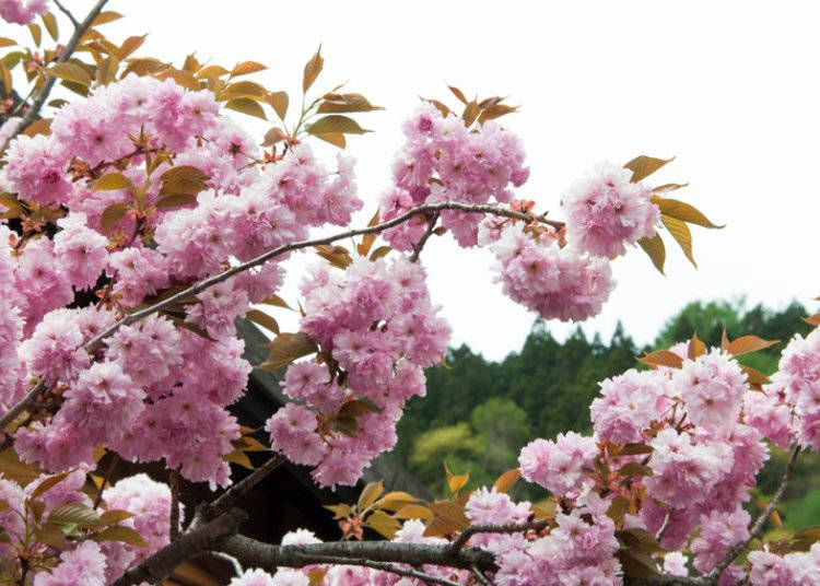 22 Different Types Of Cherry Blossoms And Interesting Facts Types Of Cherries Cherry Blossom Flowers Cherry Blossom Tree