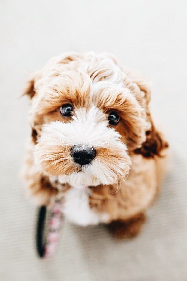 Cockapoo Puppies For Sale Kisumu Kenya