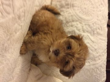 Litter Of 5 Shih Poo Puppies For Sale In Frederick Md Adn 35577 On Puppyfinder Com Gender Male Age 8 Shih Poo Puppies Shih Poo Puppies For Sale