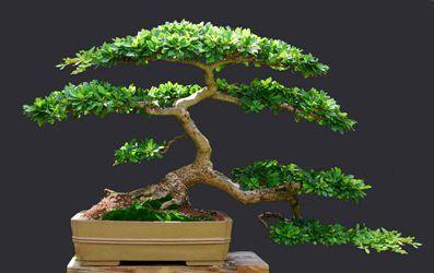 Black Olive Bonsai Jpg 397 250 Bonsai Tree Olive Tree Tattoos Black Olive Tree