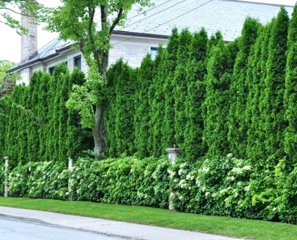 Privacy Landscaping Trees Privacy Landscaping Plans Tall Privacy