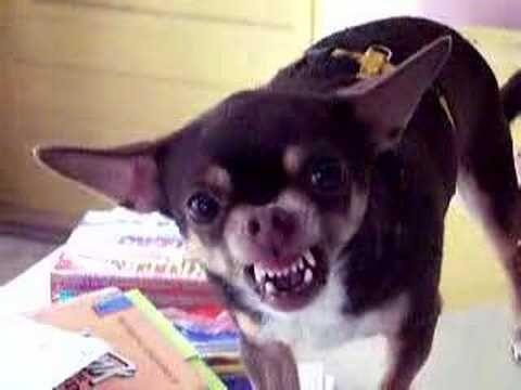 I M Baad I M Baaad Bad Bad Bad Who S Bad Chihuahua Dogs