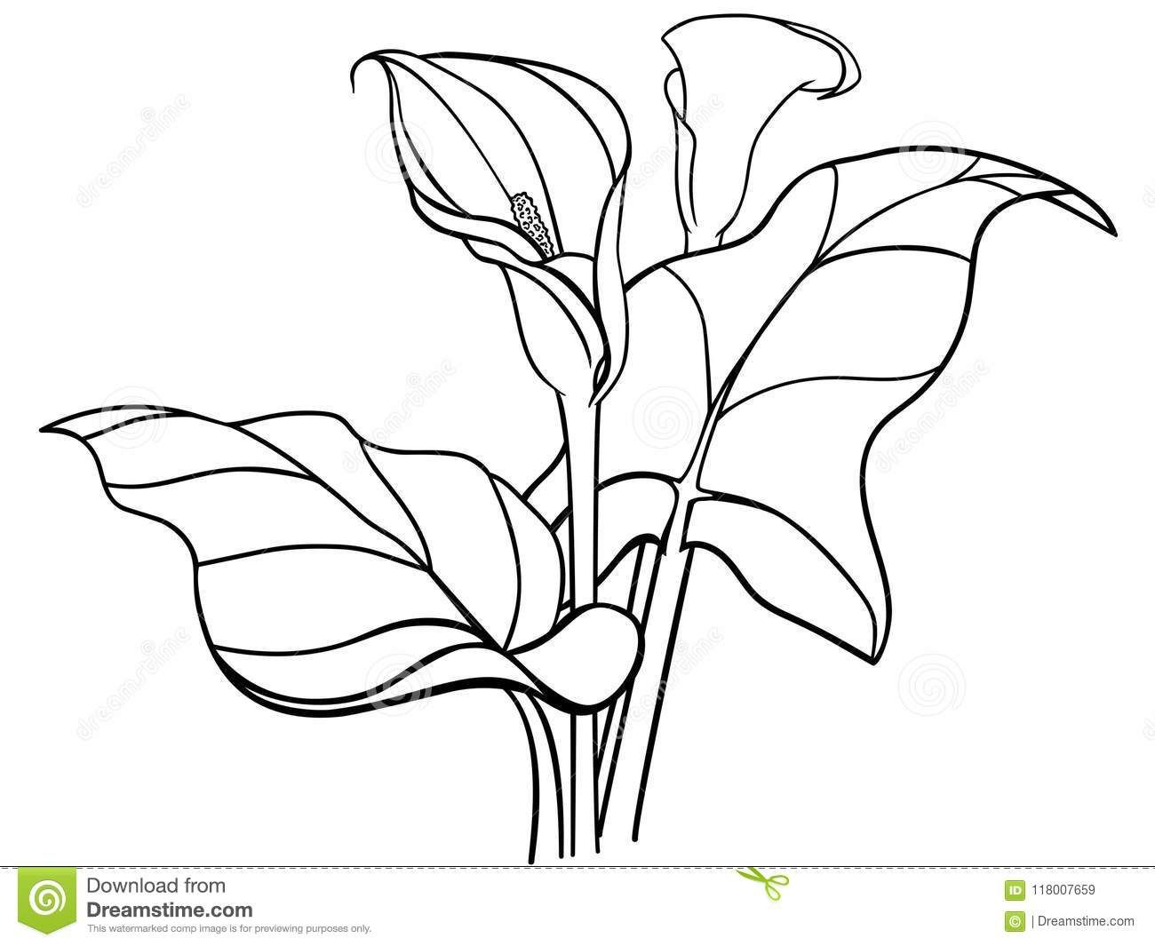 Calla Lily Flower Drawing & Coloring