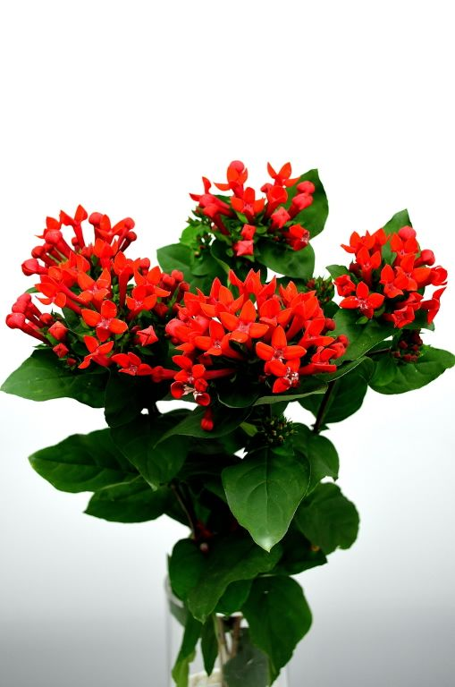 Red Bouvardia Available February November And Parts Of January December Beautiful Flowers Red Flowers Flower Guide