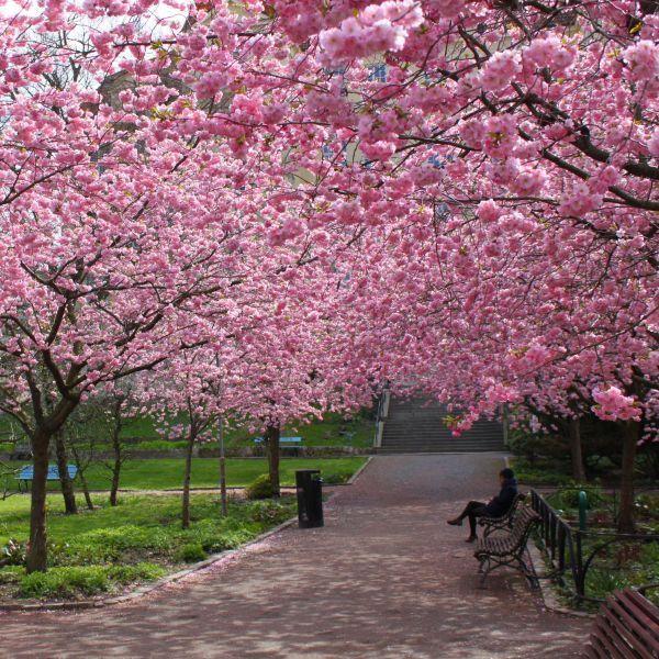 Kwanzan Flowering Cherry Tree Overview Flowering cherry