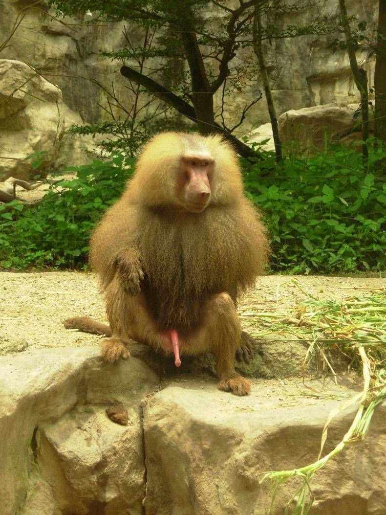 The size of a monkeys penis valuable