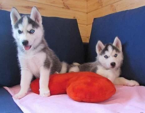 Alaskan Husky Puppies Sale Huntsville Petzlover 102299 Alaskan