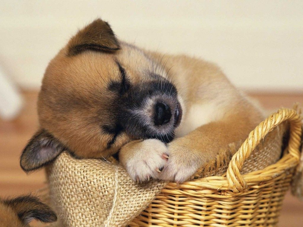 cute puppies sleeping wallpapers Animals Pinterest