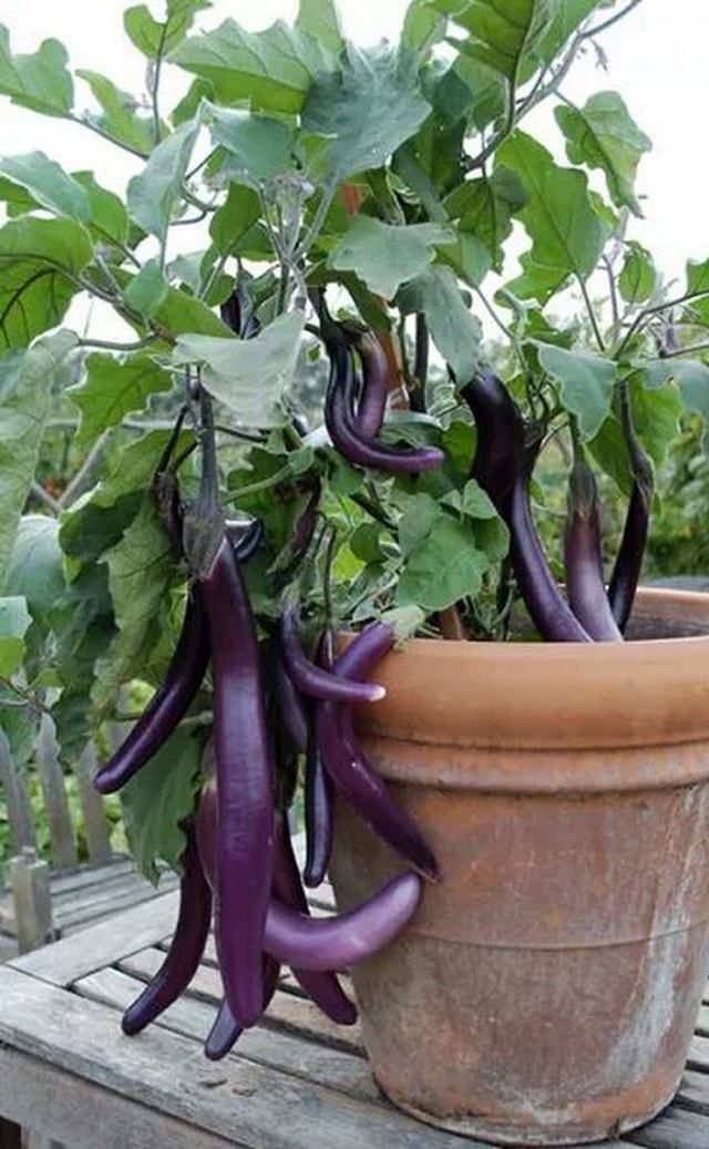 How To Grow An Eggplant In A Pot Growing Eggplant Organic Container Gardening Container Gardening Vegetables