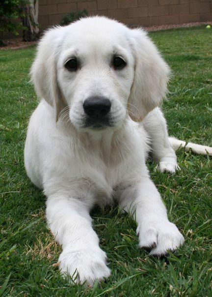 English Cream Golden Retriever Puppy Very Light Color English