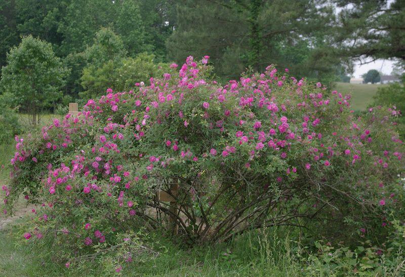 Rosa palustris scandens swamp rose oklahoma native plants rosa palustris scandens swamp rose oklahoma native publicscrutiny Image collections