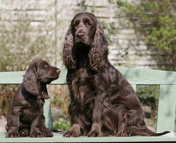 Field Spaniel With Images Field Spaniel Spaniel Cocker Spaniel Grooming