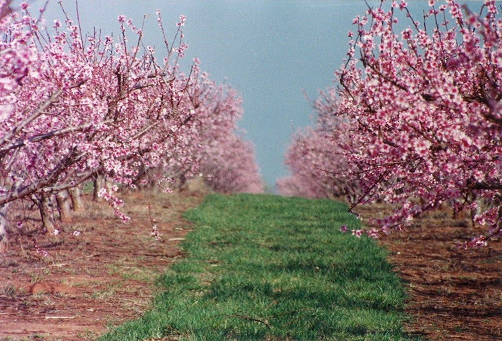 Dickey Farms Peach Trees In Full Bloom In Central Georgia Peach Trees Blooming Trees Beautiful Tree