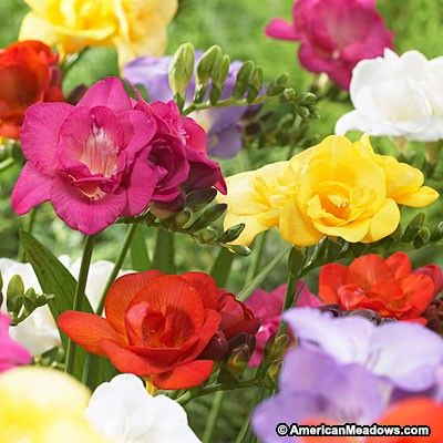 Double Freesia Mix Bulb Flowers Spring Flowering Bulbs Bloom
