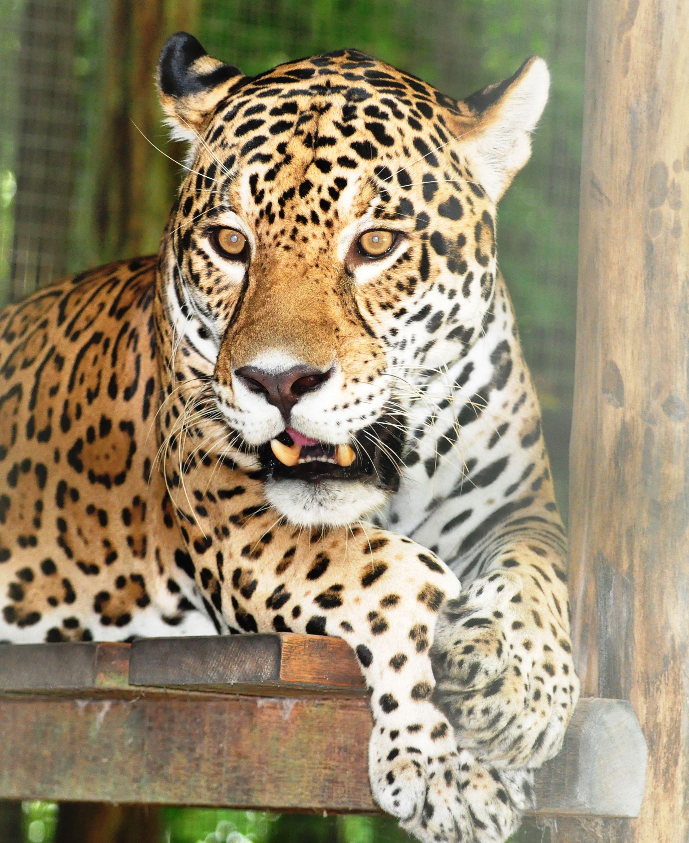 Jaguar in the Amazon Rainforest Amazon rainforest, Big