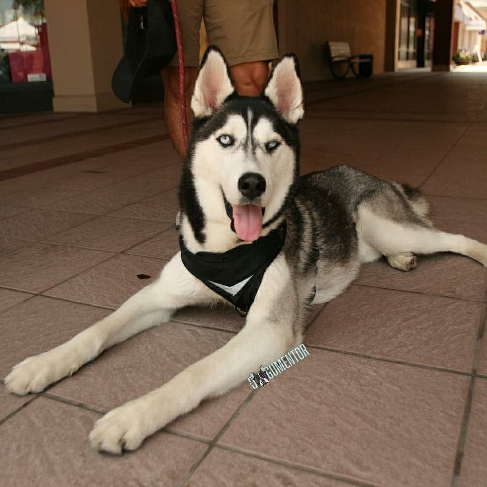 Pin By The Dogumentor On Dogs Of San Diego Husky Dogs Dog Pictures