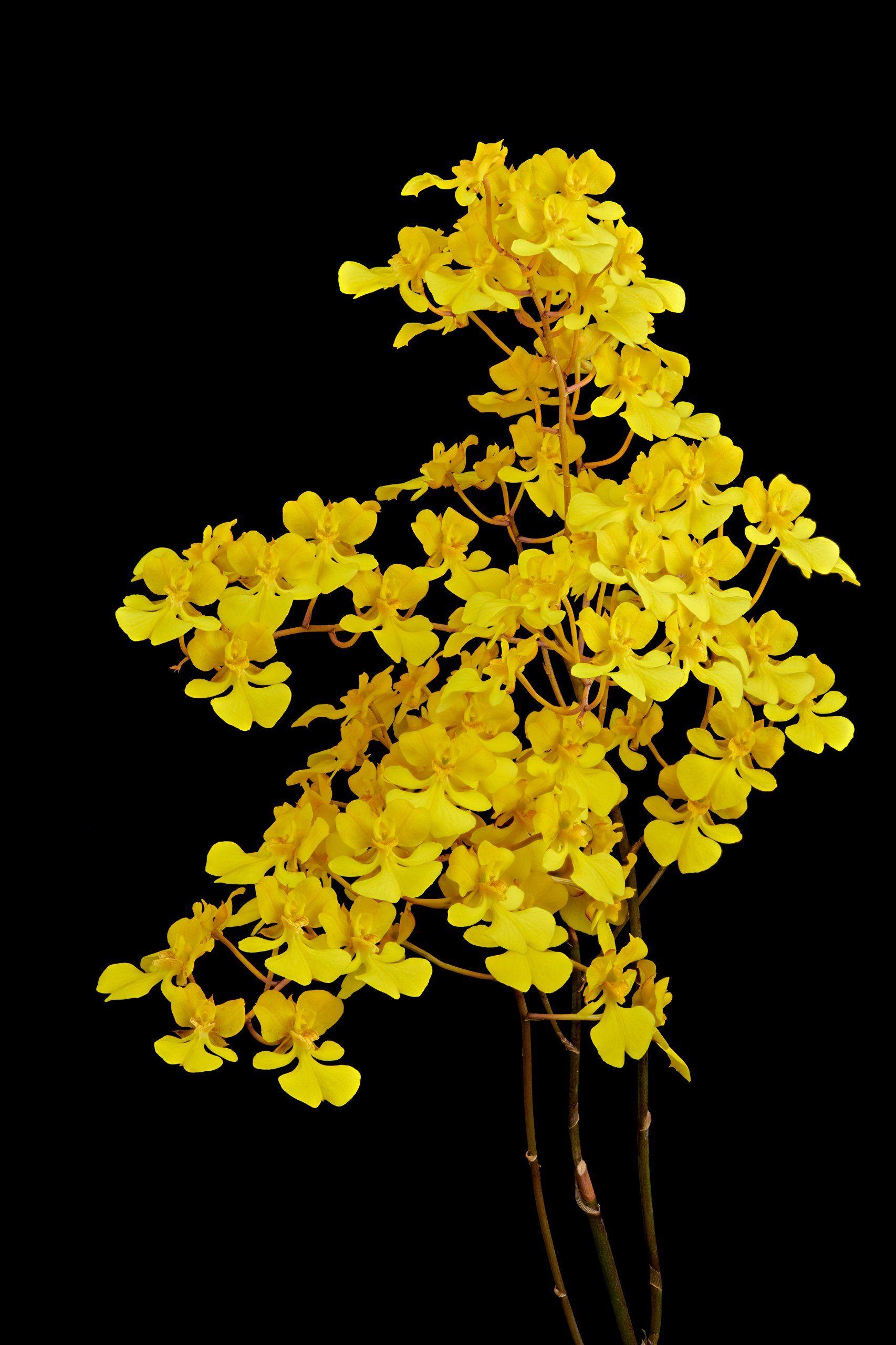 Oncidium Onustum Oncidium Wild Orchid Beautiful Flowers