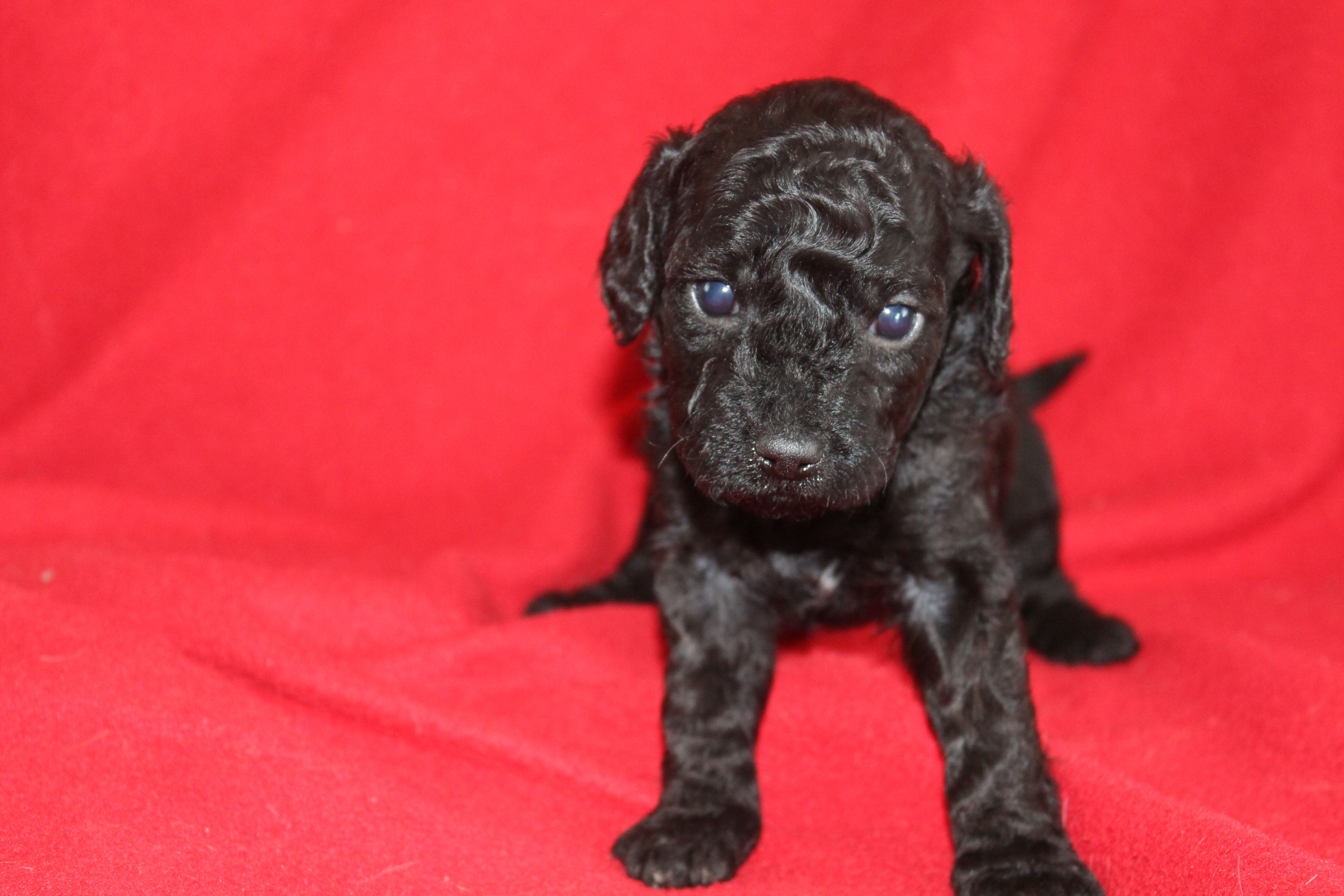 Day 28 female mini goldendoodle puppy (the runt!) Black