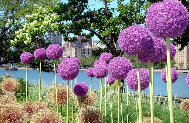 The Garden Geeks Plant Of Day Allium Lucy Ball Perennial Bulb