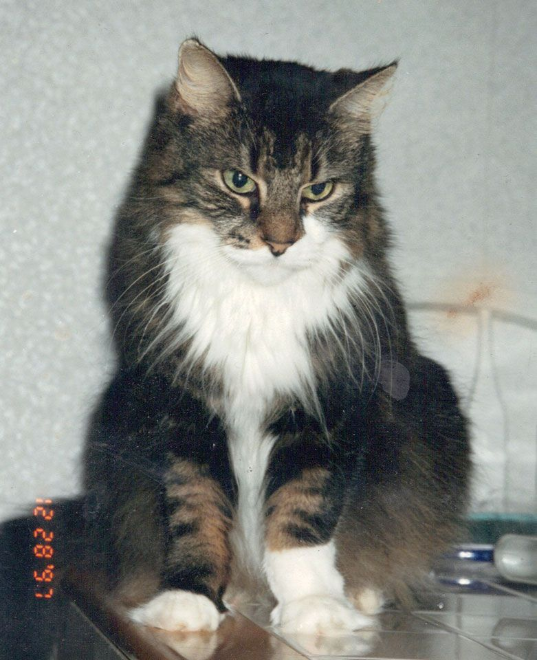 "From Paula: ""This was my cat Chester. She was the only cat of the many I've had over the years that actually gave hugs. She passed away shortly after this last photo was taken of her in 1998. She was 12, and had diabetes. (she was a boy when we first got her, all that fluff was deceiving, but she knew her name so we couldn't change it...oops)"" In March, we are celebrating long hair cats. www.catfaeries.com - Products for good behavior & health for the modern housecat."