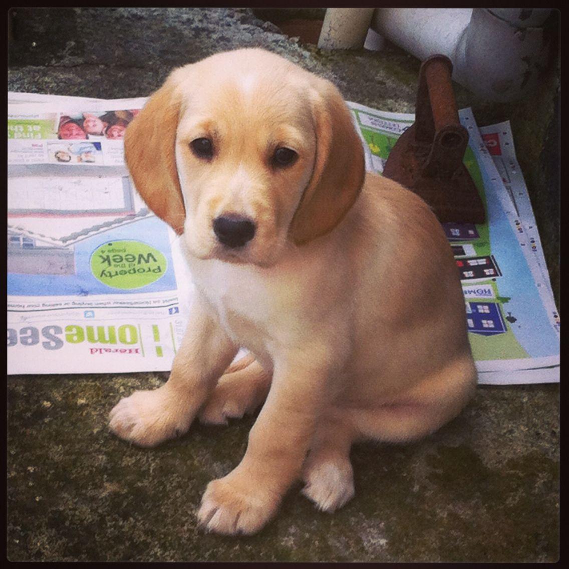 Ginny The Beautiful Spanador Puppy Spanador Dog Friends Puppies