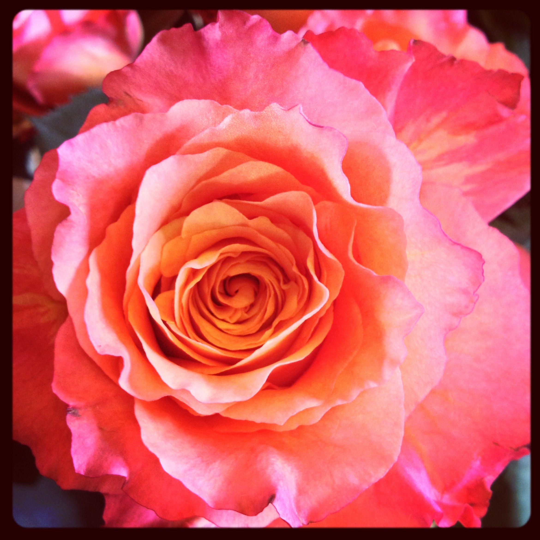 """Free Spirit"" Roses.....amazing! Rose, Flower creation"