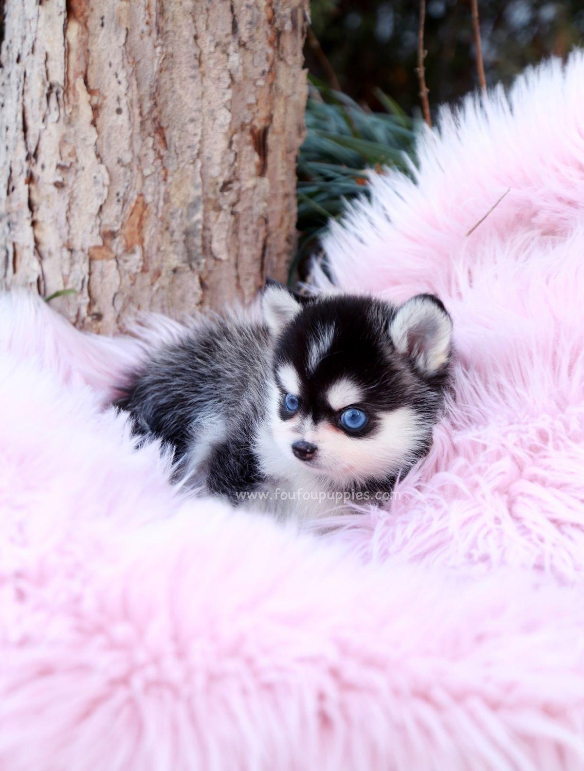 Every meet Zazu! Mini blue eyes Pomsky only FouFou