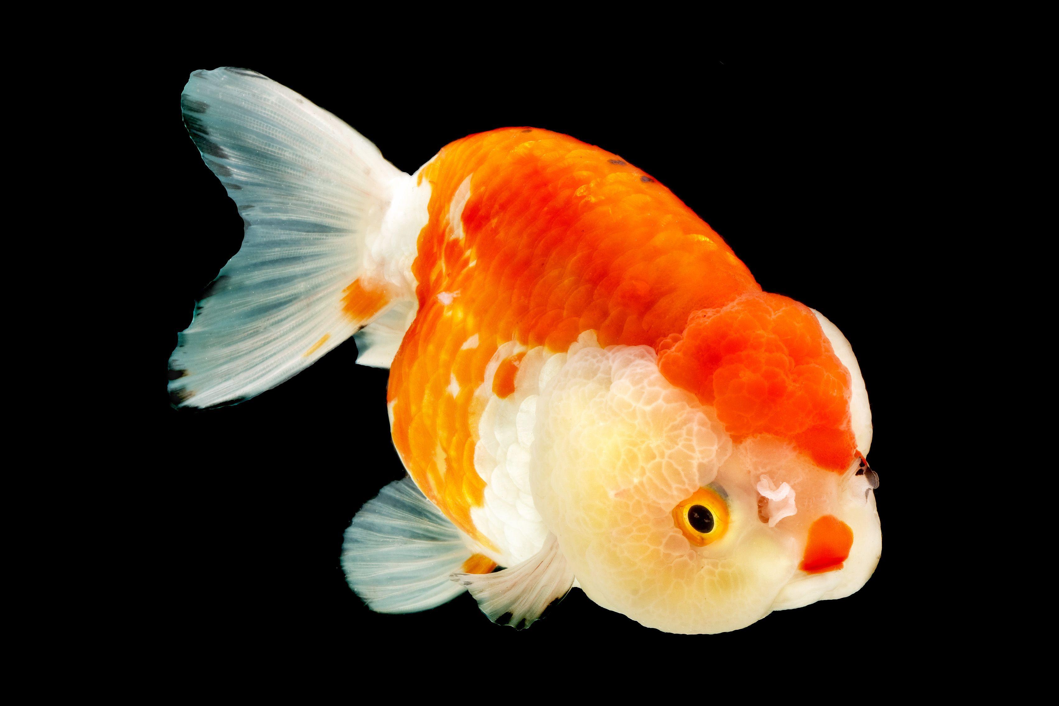 Ranchu (Gold Fish) | Ranchu goldfish | Pinterest | Goldfish, Fish and Lionhead goldfish