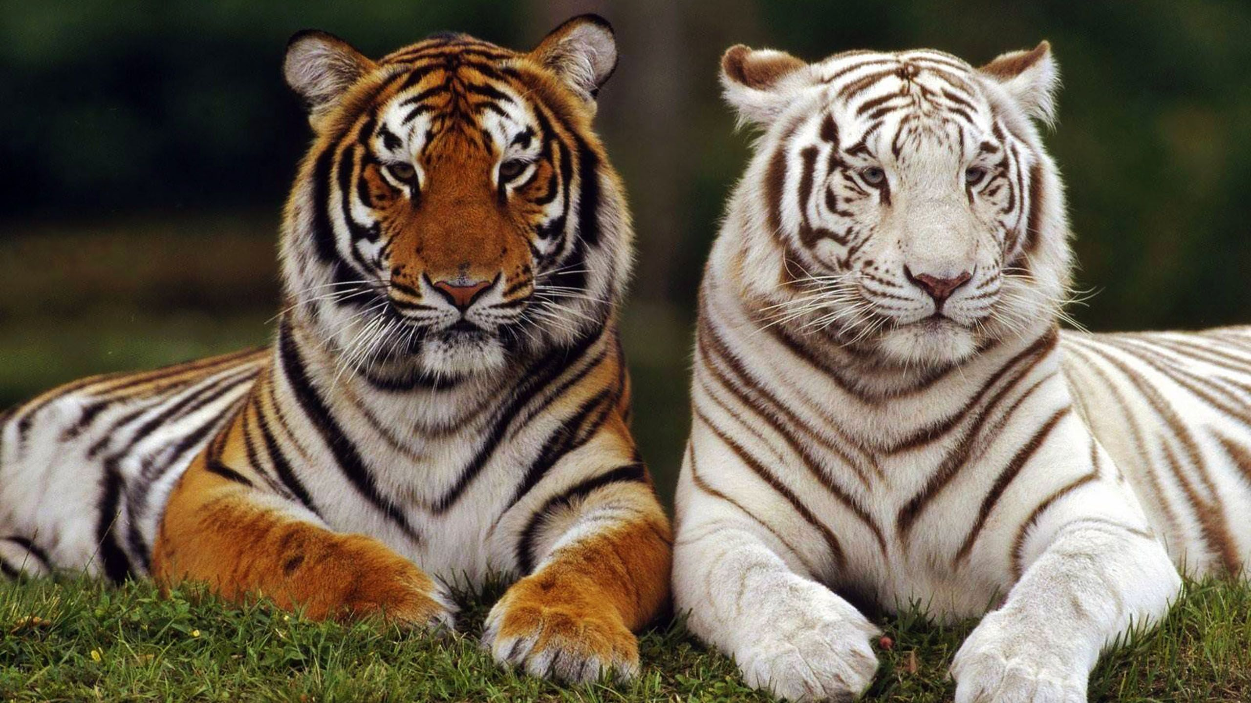 Image Gallery orange and white tiger