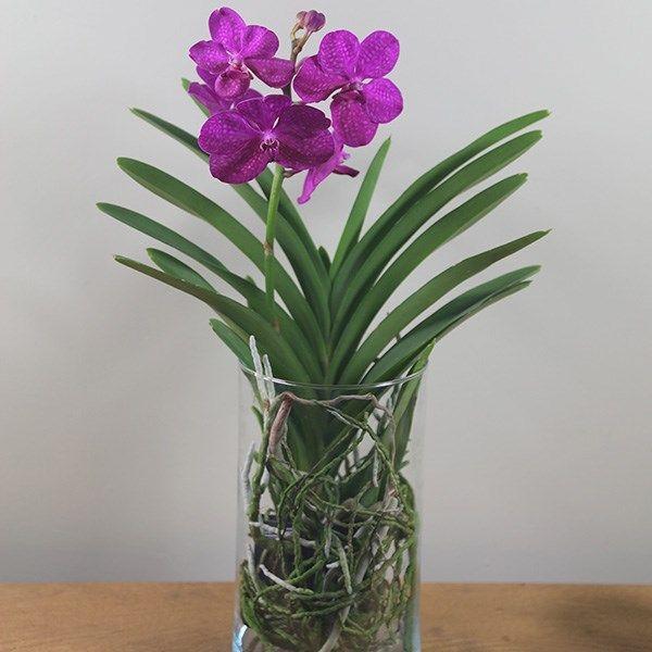 Buy Vanda Orchid In A Glass Vase Vanda Tayanee Cerise Delivery By