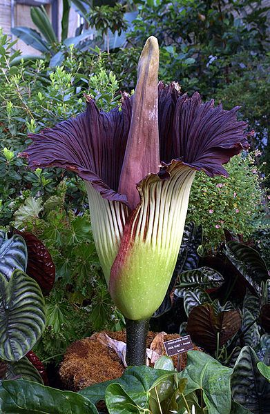 The Titan Arum Better Known As The Corpseflower Is Very Aptly Named Found In The Forests Of Western Sumatra It I Con Imagenes Flores Raras Flores Exoticas Flor Cadaver