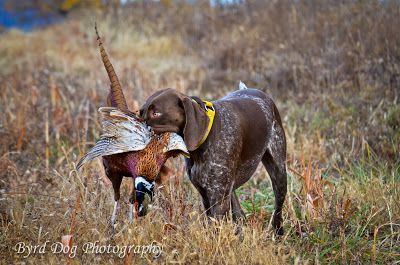 First Pheasant Hunt Of The Season With Images Hunting Dogs