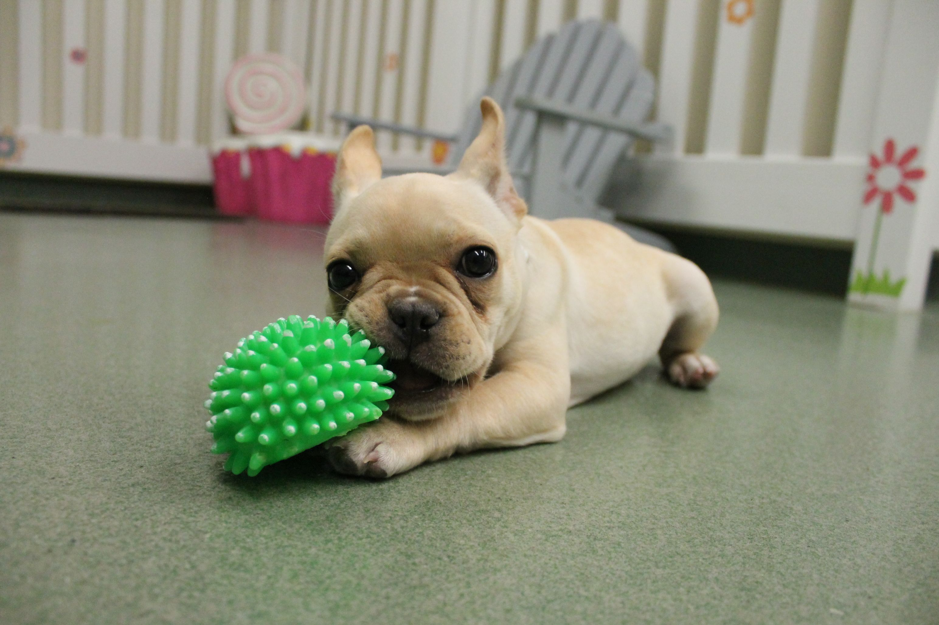 Adorable 4 Month Old French Bulldog Madison Loves Playing With Her