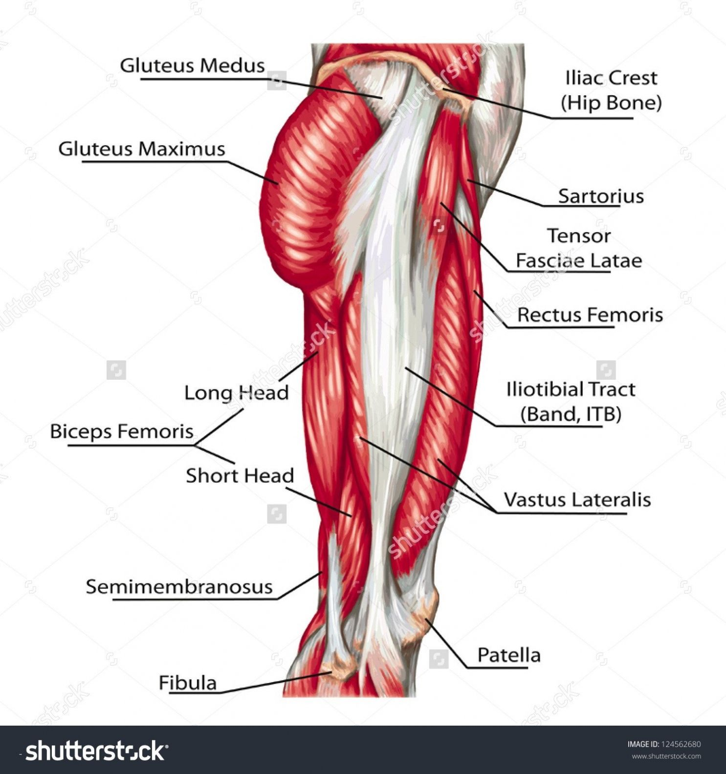 Muscles Of The Body Diagram For Kids Human Anatomy Drawing
