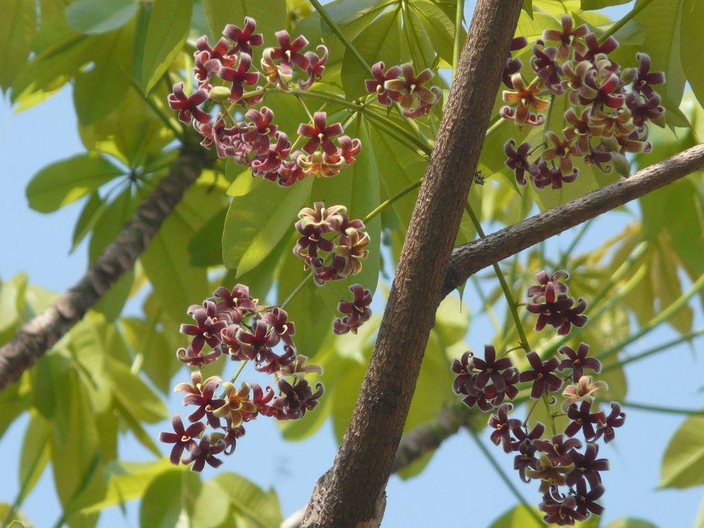 Sterculia foetida   ! Plants Flowers and Trees