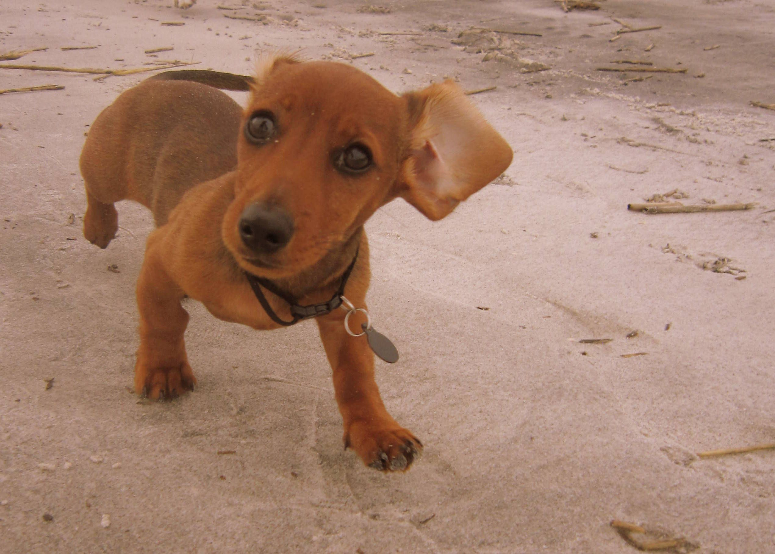 Dachshund puppy on the beach! Cute animal photos