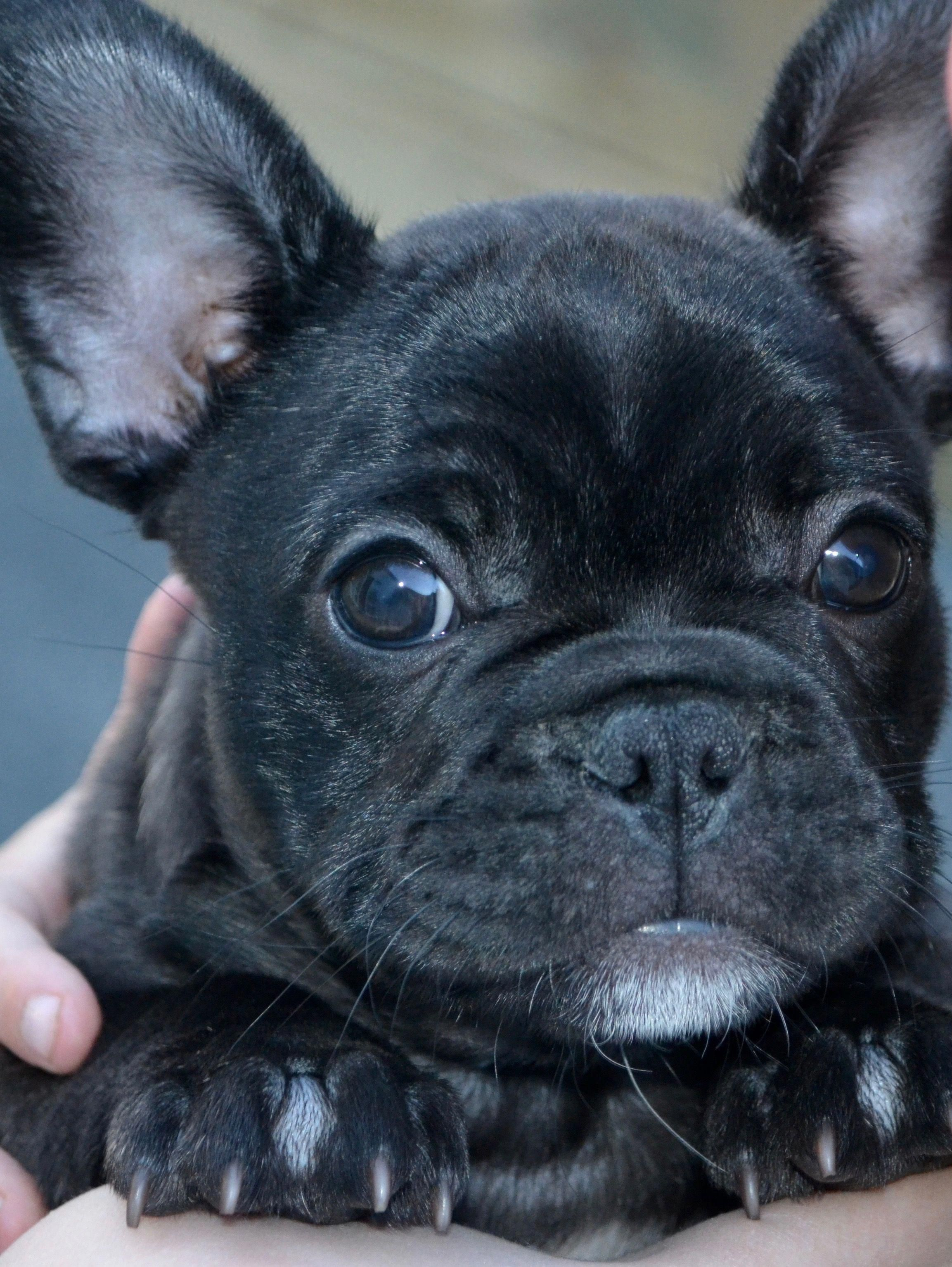 All About The Bright Frenchie Pups Grooming Frenchbulldogsofig