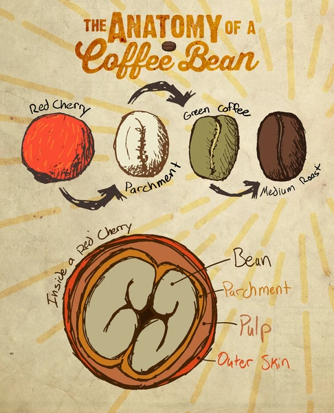 The Anatomy Of A Coffee Bean