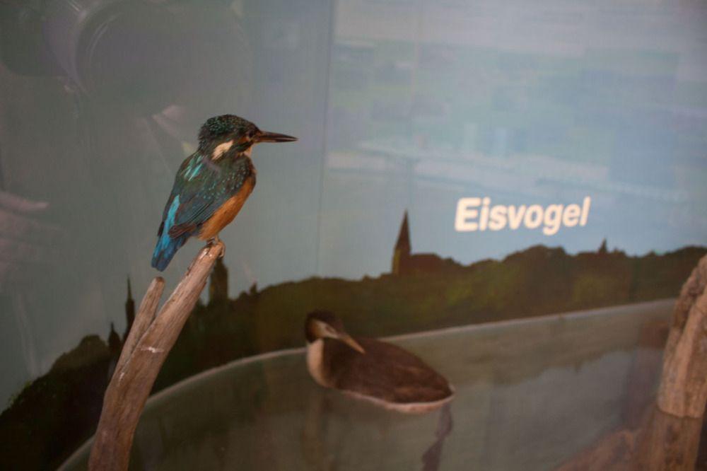 Zusammenarbeit mit dem NABU Schwerin für die Kraniche | Eisvogel als Exponat im Ausstellungsraum in der Naturschutzstation Schwerin (c) Frank Koebsch